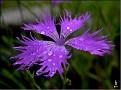 DSCN1355 Dianthus sp  02 08 12