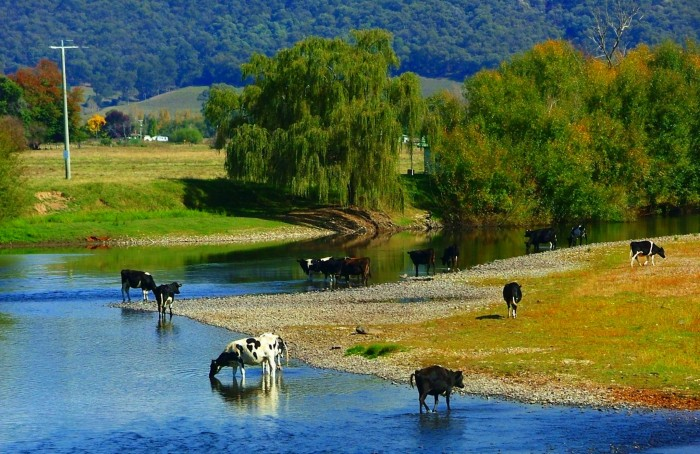 Dairy Cows Drinking From The Mitta River