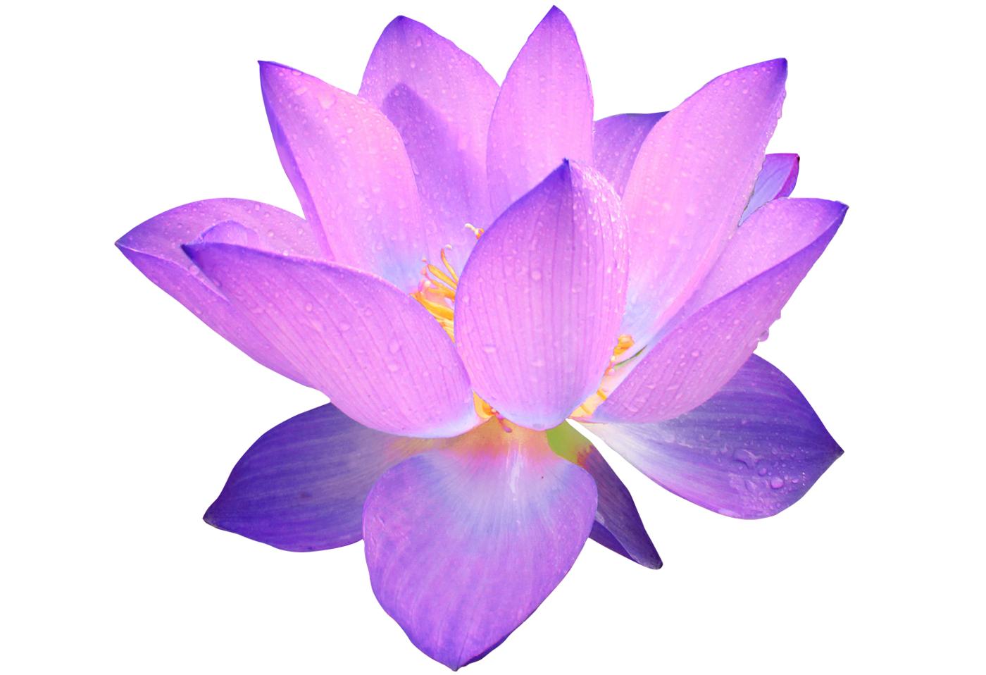 Photo 114537883 purple lotus flower png mg7otm clipart flowers 114537883 purple lotus flower png mg7otm clipart mightylinksfo