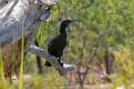 Little Black Cormorant