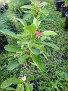 Plants Names DX7 226