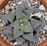 Haworthia pygmaea v. argento-maculosa SU083