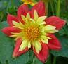 Dahlia hortensis 'Collorette Dandy'