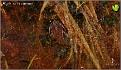 Rana temporaria - Buttsnutefrosk