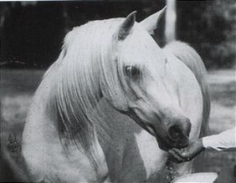 DAMIRAH (Hadban Enzahi x Hamdi, by Halef) 1975 grey mare