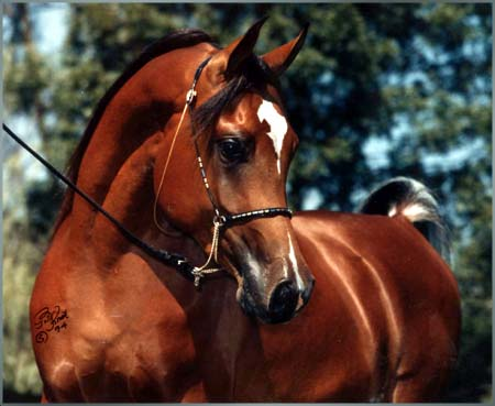 THE ROMEO #488463 (Thee Desperado x Shallha, by Shiko Ibn Sheikh) 1992 bay stallion