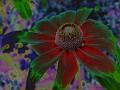 Coneflower (Rudbeckia bicolor)
