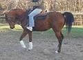 KHALYMA #497434 (Khourizma x Killaly Bey, by Celebrity Bey) 2002 bay mare