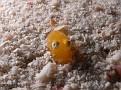 TINY Cuttlefish