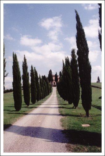 CyprusTrees 032