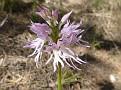 Orchis italica (4)
