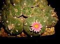 Lophophora fricii 1