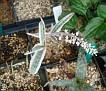 Ledebouria socialis variegata