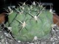 Gymnocalycium schickendantzii v. delaetii