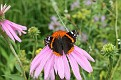 Red Admiral on Coneflower #3