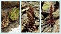 Sedum microstachyum endemic troodos