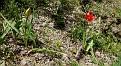 Tulipa agenensis (4)