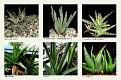 1 Aloe (8)
