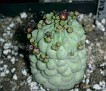 Trichocaulon cactiforme - felinum
