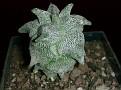 Astrophytum coahuilense f. monstrose 'Hakuran'