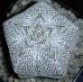 Astrophytum myriostigma cv. ONZUKA