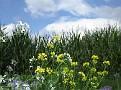 Geschmücktes Maisfeld