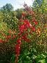 Leuchtende Herbströte