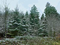 Bepuderter Wald auf dem Rigi