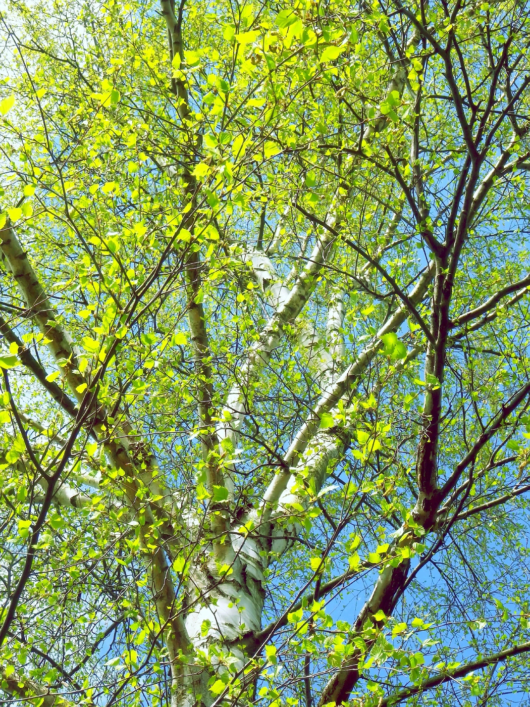 Erstes Birkengrün
