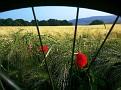 Poppies in der Gerste
