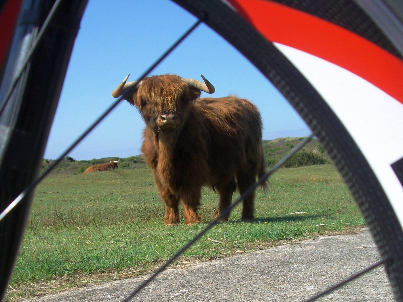 Free-runnung bisons in Kennemerland