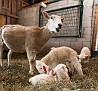 S12 Lambs-5