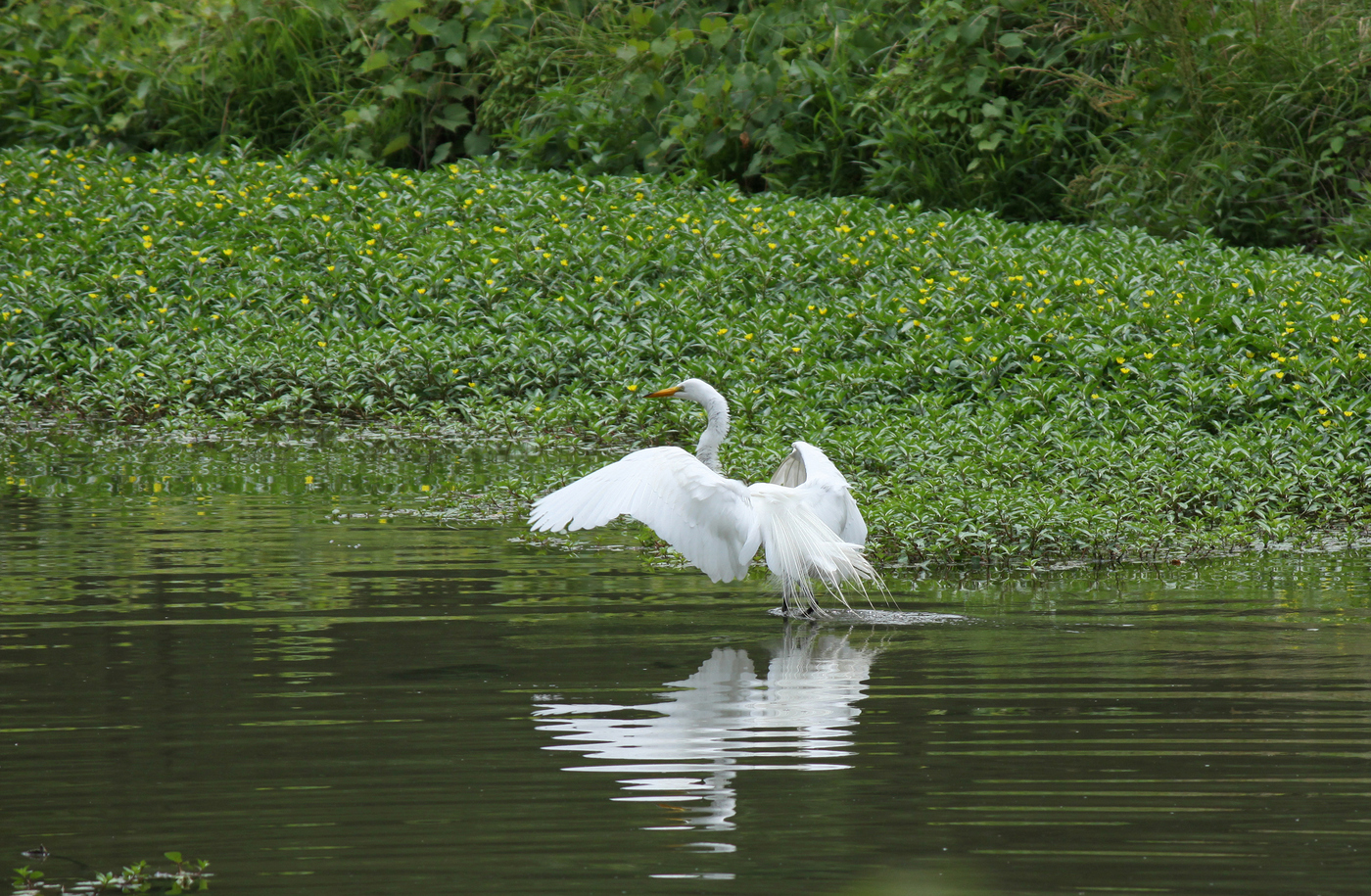 Great Egret #9