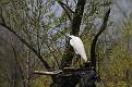 Spring Egret #4