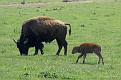 Bison and Calf #24