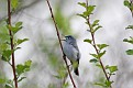 Blue Gray Gnatcatcher #20