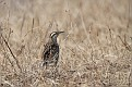 Eastern Meadowlark #28