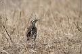 Eastern Meadowlark #28