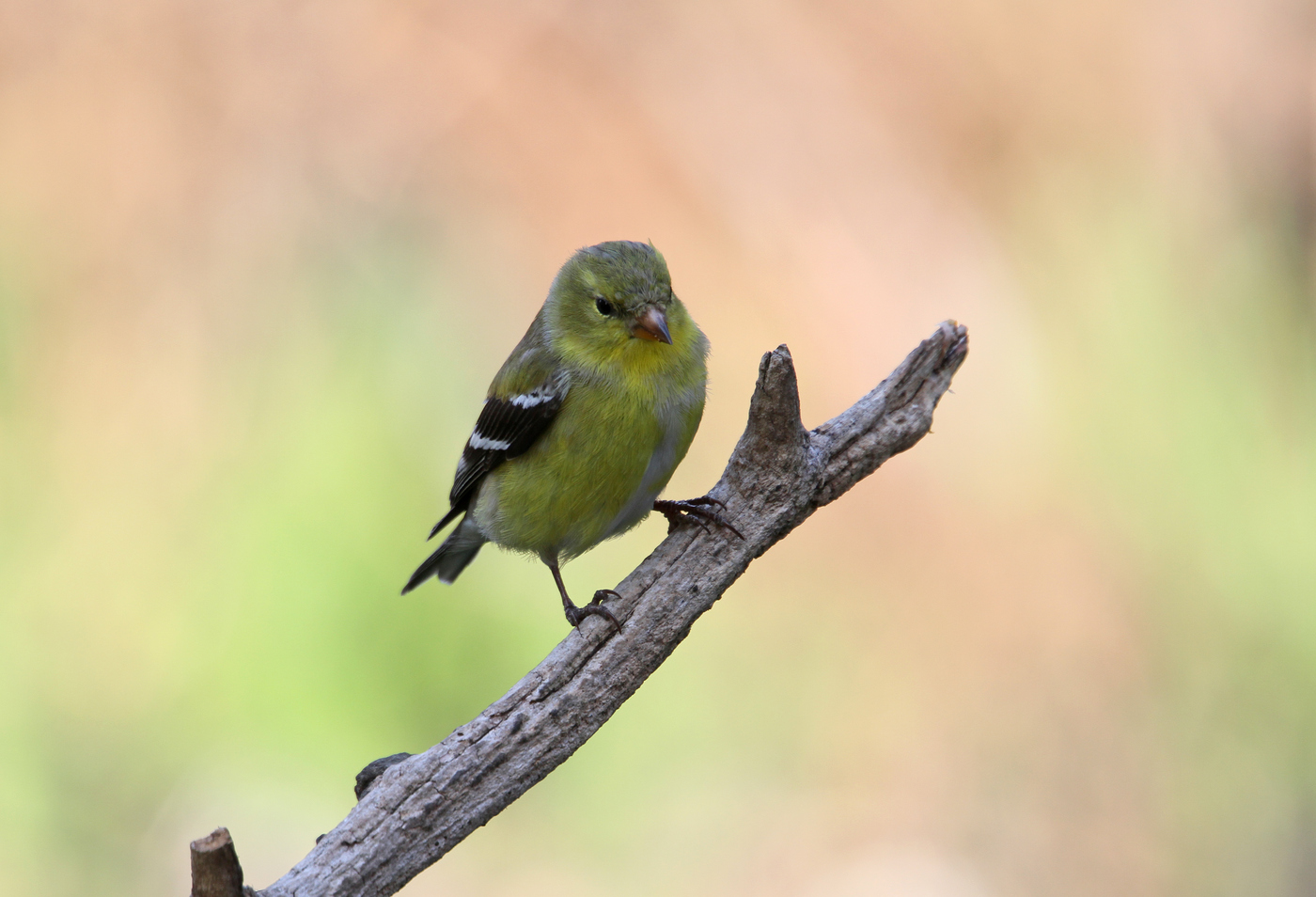 Female Goldfinch #4