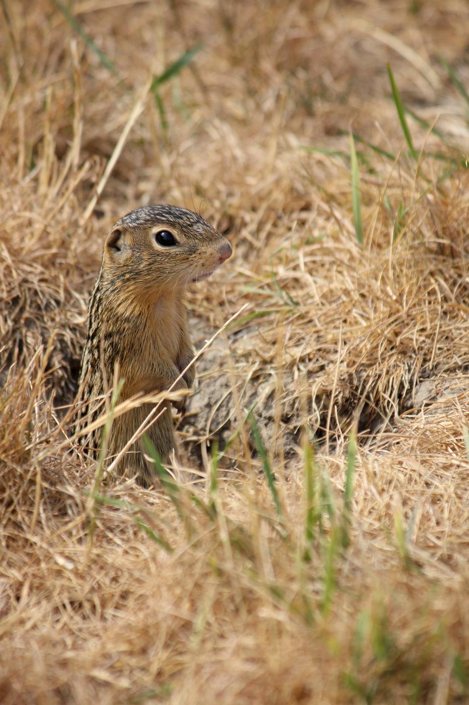 Thirteen Lined Ground Squirrel #4