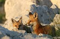 Red Fox June Series #2