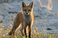 Red Fox June Series #5