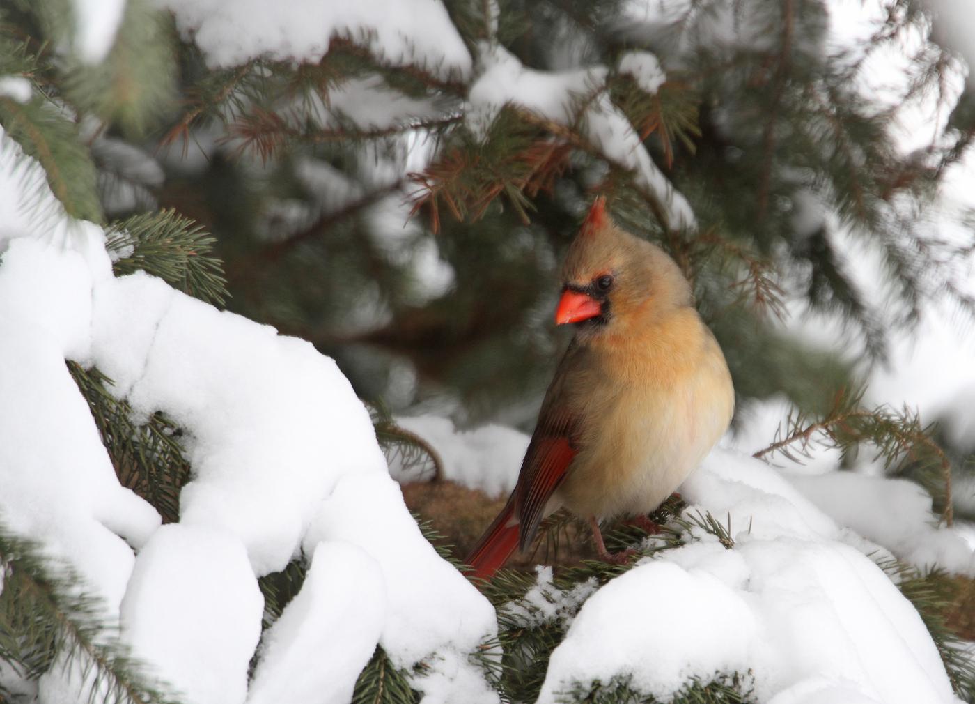 Cardinal #23