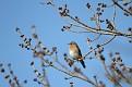 Female Bluebird #30