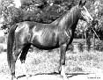 NADIRAT #619 (*Rizvan x Nusara, by *Abu Zeyd) 1927 chestnut mare bred by WR Brown/ Maynesboro Arabian Farm
