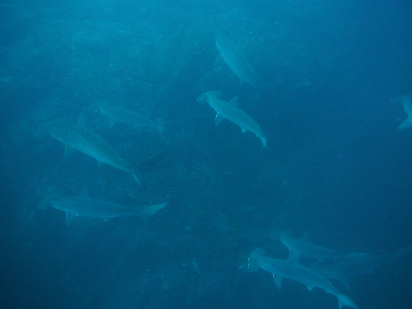 This is a small school of hammerheads