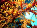 Spider Crab in coral
