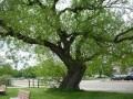 G Street Tree 249