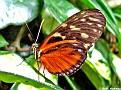 TigerLongwingButterfly002
