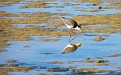 Plover in the Wynnum wading pool 001